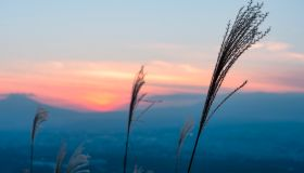 Susuki (Japanese Silver Grass) at Sunset in Autumn